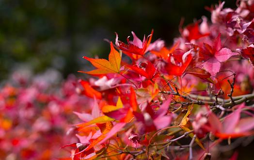 Japanese Maple「Autumn Leaf」:スマホ壁紙(12)