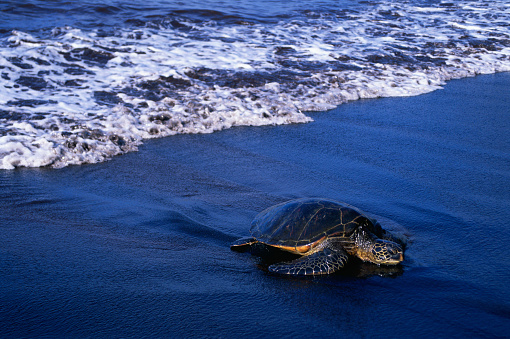 Green Turtle「Hawaiian Green Sea Turtle」:スマホ壁紙(18)