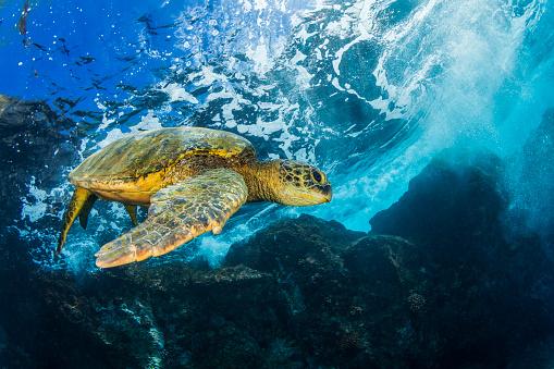 Green Turtle「Hawaiian Green Sea Turtle (Chelonia mydas)」:スマホ壁紙(5)