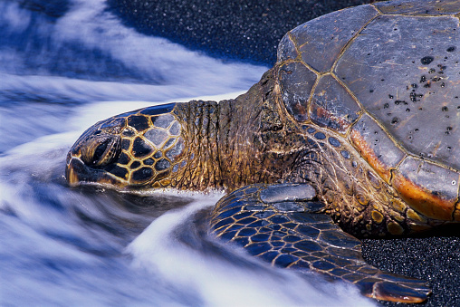 Green Turtle「Hawaiian Green Sea Turtle」:スマホ壁紙(10)