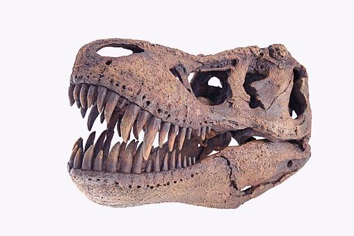 Specimen Holder「Tyrannosaurus rex skull」:スマホ壁紙(17)