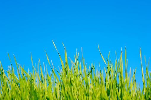 Timothy Grass「lawn grass against pure blue sky, summer」:スマホ壁紙(13)