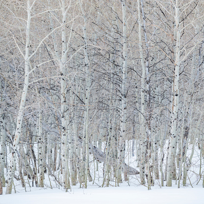 Bare Tree「USA, Idaho, Sun Valley, Aspen forest in winter in Sawtooth National Forest」:スマホ壁紙(2)