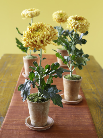 Close-up「Yellow Chrysanthemum flowers as center piece」:スマホ壁紙(10)