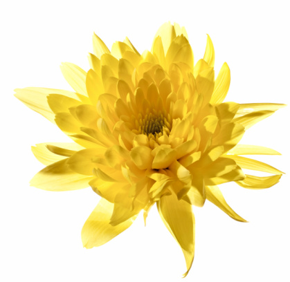 Chrysanthemum「Yellow chrysanthemum, isolated with clipping path on white background」:スマホ壁紙(1)