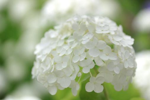 あじさい「White Hydrangea Flowers」:スマホ壁紙(8)