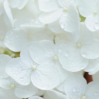 あじさい「White hydrangea」:スマホ壁紙(18)