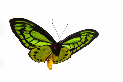 Animal Wing「Isolated close-up photograph of a green butterfly in flight」:スマホ壁紙(5)