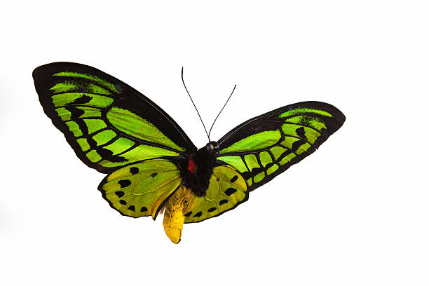Isolated close-up photograph of a green butterfly in flight:スマホ壁紙(壁紙.com)