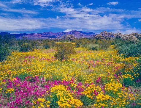 Wildflower「Arizona spring wildflowers」:スマホ壁紙(7)