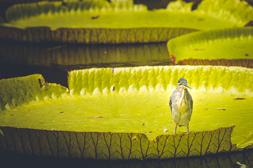 Water Lily「bird on on giant water lily on mauritius island, africa」:スマホ壁紙(3)