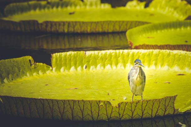 bird on on giant water lily on mauritius island, africa:スマホ壁紙(壁紙.com)