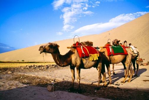 Pack Animal「Camels in desert, Dunhuang, Gansu, China」:スマホ壁紙(18)