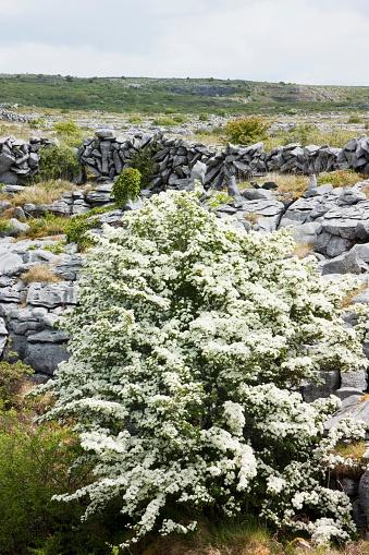 Hawthorn「Hawthorn Bush In The Burren Near Ballyvaghan; County Clare, Ireland」:スマホ壁紙(5)