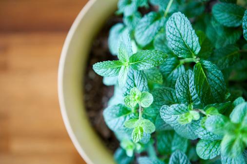 Mint Leaf - Culinary「Fresh Mint Plant  Potted against a Natural Wood Table」:スマホ壁紙(13)