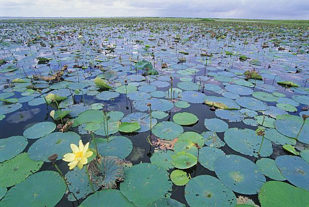 USA, Florida, Lake Ochichobe, water lilies covering lake:スマホ壁紙(壁紙.com)