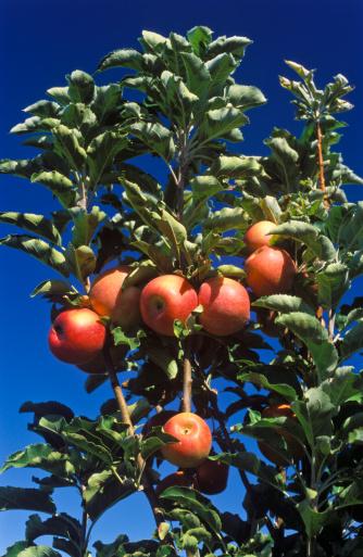 ローヤルガラ「Australia, Menindee, Royal Gala apples on tree」:スマホ壁紙(19)