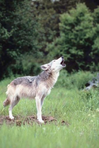 Animals Hunting「Gray wolf howling」:スマホ壁紙(12)