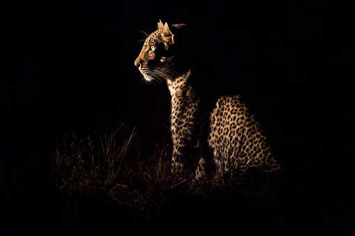 Animals Hunting「Leopard sitting in darkness hunting nocturnal prey in a spotlight - Sabie Sands Nature Reserve South Africa」:スマホ壁紙(17)