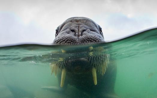 Shallow「Walrus, Svalbard, Norway」:スマホ壁紙(4)
