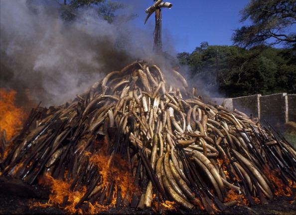 Tom Stoddart Archive「Burning Confiscated Ivory」:写真・画像(9)[壁紙.com]
