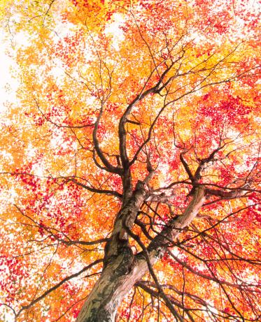 Japanese Maple「Autumn Tree」:スマホ壁紙(6)