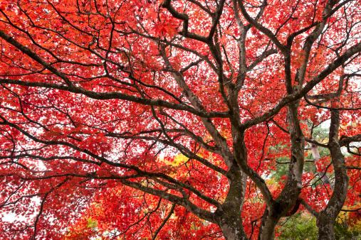 Japanese Maple「Autumn Trees」:スマホ壁紙(9)