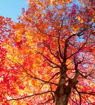 Japanese Maple「Autumn Tree」:スマホ壁紙(4)