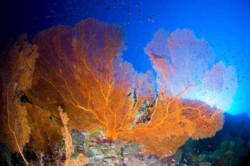 Soft Coral「Orange gorgonian sea fan, Christmas Island, Australia.」:スマホ壁紙(11)
