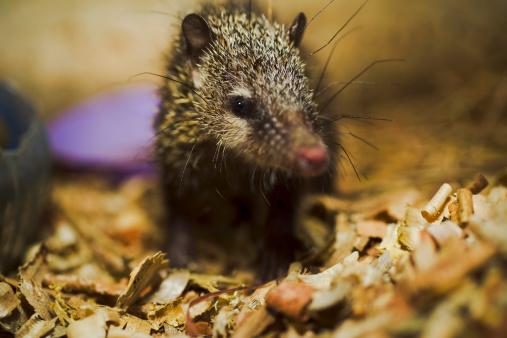 ハリネズミ「Lesser Hedgehog Tenrec (Echinops telfairi)」:スマホ壁紙(4)