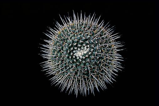 Sharp「Mammillaria gigantea」:スマホ壁紙(4)