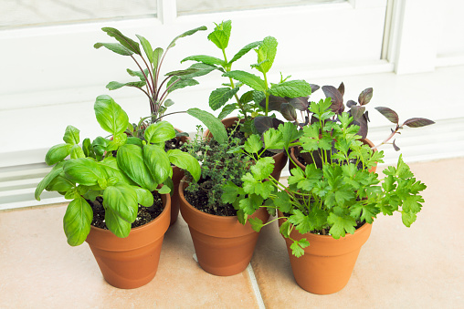 Mint Leaf - Culinary「Indoor Herb Garden, Potted Container Plant by Window Sill」:スマホ壁紙(13)