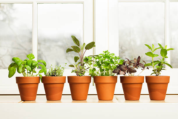 Indoor Herb Plant Garden in Flower Pots by Window Sill:スマホ壁紙(壁紙.com)