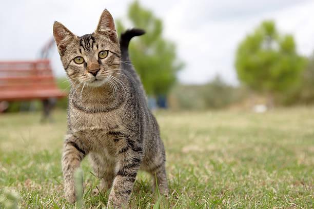 Tabby cat kitten looking at camera:スマホ壁紙(壁紙.com)