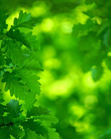 春「輝くグリーンのオークの葉と天蓋付き」:スマホ壁紙(3)