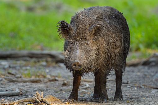 Boar「Wild boar, Sus scrofa」:スマホ壁紙(4)
