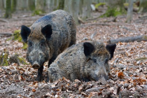 Boar「Wild boar, Sus scrofa」:スマホ壁紙(12)