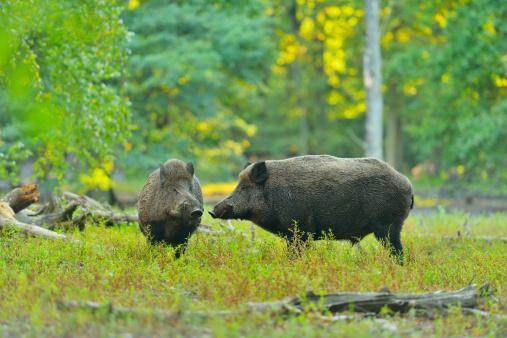 Boar「Wild boar, Sus scrofa」:スマホ壁紙(17)