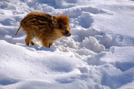 Boar「Wild boar shote in snow」:スマホ壁紙(1)