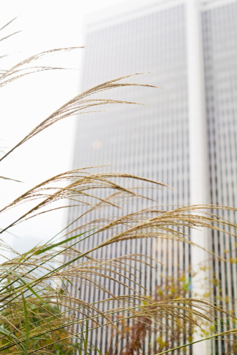 Japanese pampas grass「Pampas grass in front of skyscrapers after the rai」:スマホ壁紙(6)