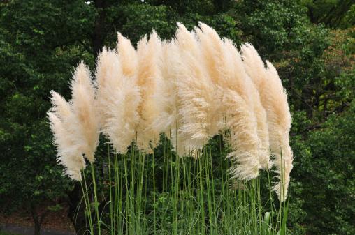 Japanese pampas grass「Pampas grass, Tokyo Prefecture, Honshu, Japan」:スマホ壁紙(4)