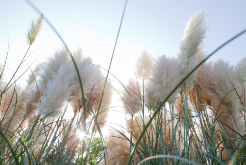 Pampas「Pampas grass (Cortaderia selloana) at sunrise」:スマホ壁紙(4)