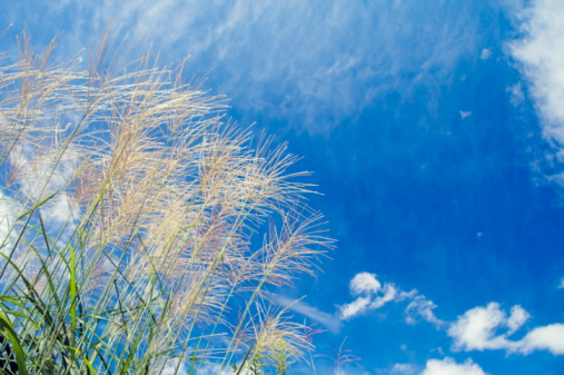 Japanese pampas grass「Pampas grass, low angle view, Ibaraki Prefecture, Honshu, Japan」:スマホ壁紙(9)
