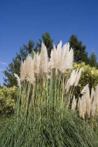 Japanese pampas grass「Pampas Grass (Cortaderia Selloana), low angle view」:スマホ壁紙(3)
