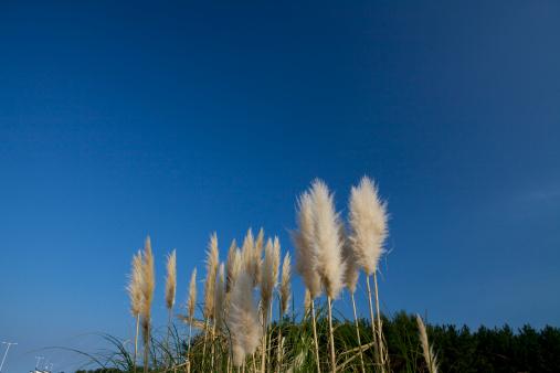 Japanese pampas grass「Pampas Grass」:スマホ壁紙(14)