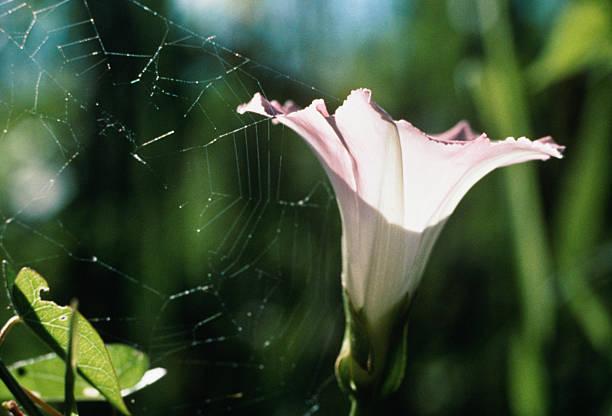 Spiderweb with morning glory flower:スマホ壁紙(壁紙.com)