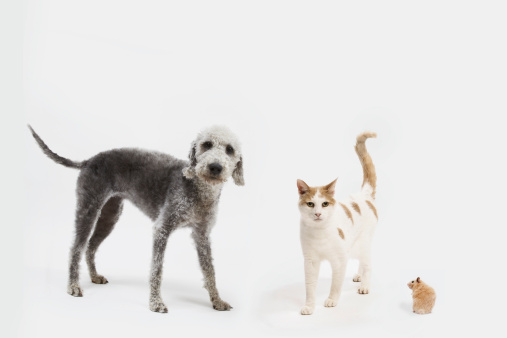 カメラ目線「Dog, cat & hamster together on a white background」:スマホ壁紙(4)