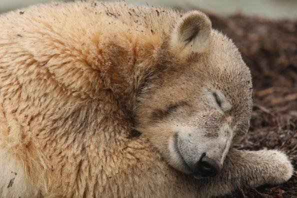 Polar Bear「Knut Turns One Year Old」:写真・画像(16)[壁紙.com]