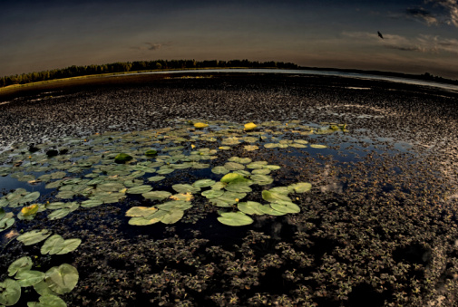 Water Lily「Water lilies on lake」:スマホ壁紙(3)