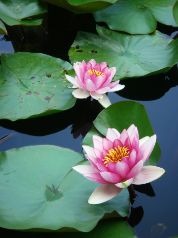 Water Lily「Water lilies and green leaves」:スマホ壁紙(10)